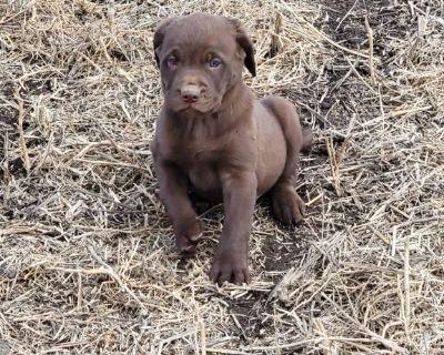 Chocolate Lab Puppies  $850