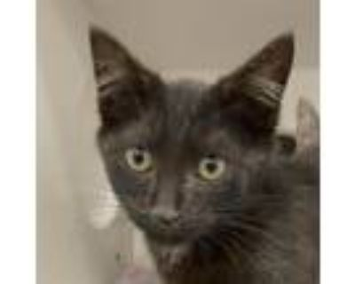 Adopt Rootie a All Black Domestic Shorthair / Mixed cat in Cumming