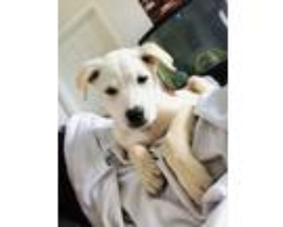 Adopt Prince a White Retriever (Unknown Type) / Mixed dog in Charlotte