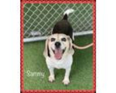 Adopt SAMMY (see EMMA and BARNEY) a Tricolor (Tan/Brown & Black & White) Beagle