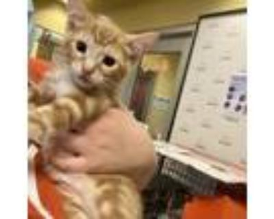 Adopt Oscar a Orange or Red Domestic Shorthair / Mixed cat in Merriam