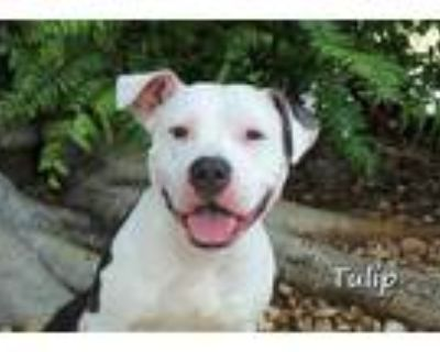 Adopt TULIP a White - with Black American Pit Bull Terrier / Mixed dog in Fort