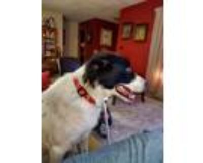 Adopt Harley a White - with Black Australian Shepherd / Boxer / Mixed dog in