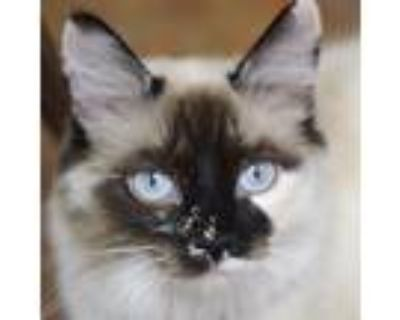 Adopt Anastasia a Cream or Ivory Siamese / Domestic Shorthair / Mixed cat in