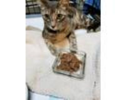 Adopt Pulu a Gray, Blue or Silver Tabby Domestic Shorthair (short coat) cat in