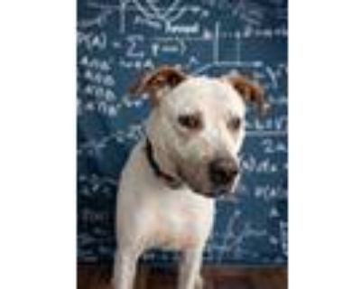 Adopt Forrest a Australian Cattle Dog / Blue Heeler