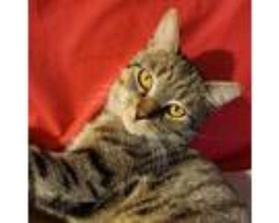 Adopt Buddy a Tiger Striped Domestic Shorthair / Mixed cat in Tecumseh