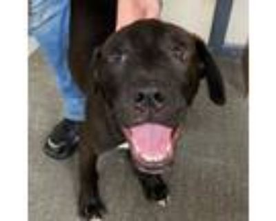 Adopt Provolone a Black Labrador Retriever, Boxer
