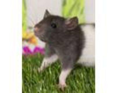 Adopt Rats (ID 29571/884) a Rat