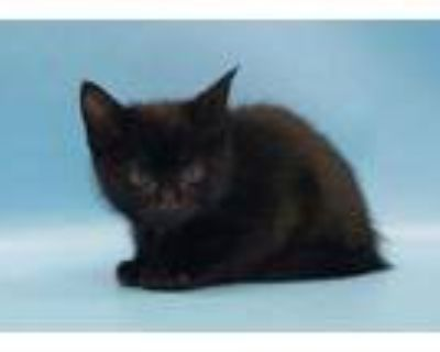 Adopt Migas a All Black Domestic Shorthair / Domestic Shorthair / Mixed cat in