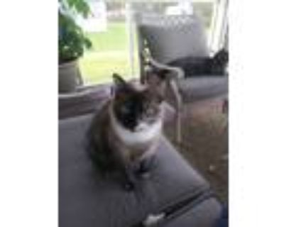Adopt Tiara (Front declawed) courtesy list a Siamese, Snowshoe