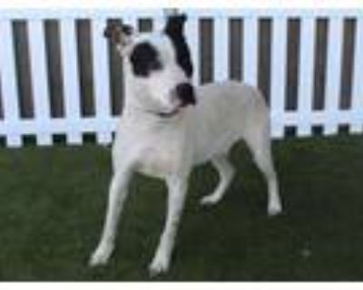 Adopt RONIN a American Staffordshire Terrier, Mixed Breed