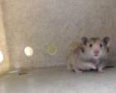 Adopt a Black Hamster / Mixed small animal in Downey, CA (31965156)