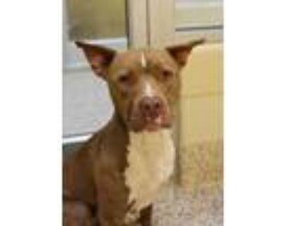 Adopt Anchor 39033 a Brown/Chocolate American Pit Bull Terrier / Mixed dog in