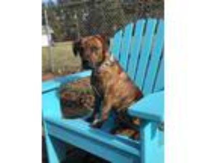 Adopt TONY a Brindle Plott Hound / Mixed Breed (Medium) dog in Kennesaw