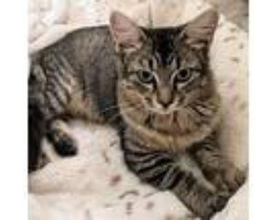 Brinda-1_4 Allison, Domestic Longhair For Adoption In Foley, Alabama