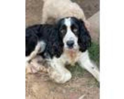 Adopt Janey a English Springer Spaniel