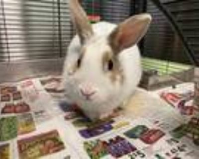 Adopt NIBBLES a White Other/Unknown / Mixed rabbit in Brighton, CO (31640091)