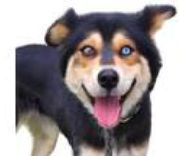 Adopt Ladybug a Black Border Collie / Husky / Mixed dog in Reno, NV (31564933)