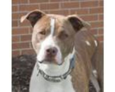 Adopt Jordan a White - with Red, Golden, Orange or Chestnut Pit Bull Terrier /