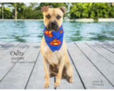 Adopt Dog a Tan/Yellow/Fawn American Pit Bull Terrier / Mixed dog in Thousand