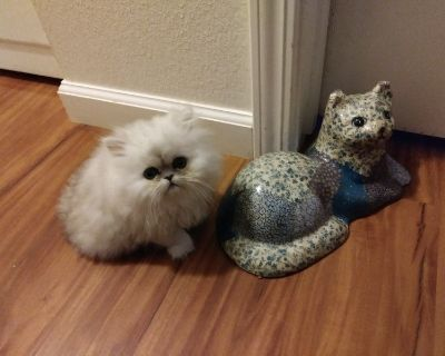 Persians Kittens, available for new homes October thru November. Silvers and Goldens....
