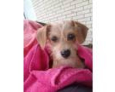 Adopt Daisey a Tan/Yellow/Fawn Terrier (Unknown Type, Small) dog in Lafayette