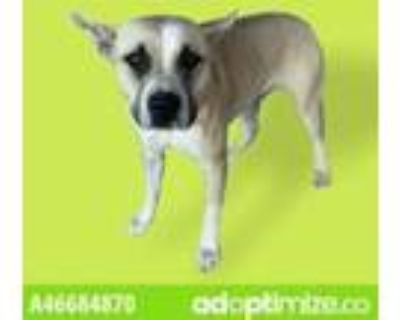 Adopt zoey a Tan/Yellow/Fawn American Pit Bull Terrier / Mixed dog in El Paso