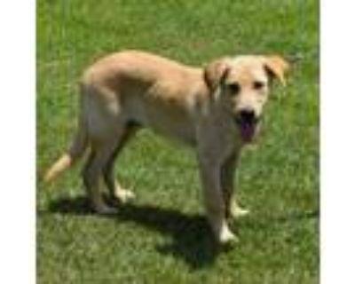 Adopt Drake a Labrador Retriever