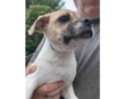 Adopt Santo a White - with Tan, Yellow or Fawn Beagle / Shar Pei / Mixed dog in
