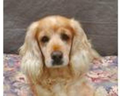 Adopt Lucky a Tan/Yellow/Fawn Cocker Spaniel / Mixed dog in Lake Balboa