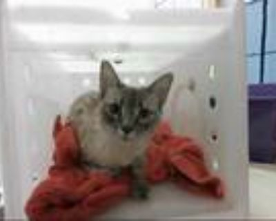 Adopt STELLA a Brown or Chocolate (Mostly) Siamese / Mixed (short coat) cat in