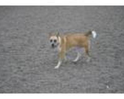 Adopt Niyah a Australian Cattle Dog / Blue Heeler