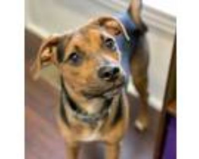 Adopt Lil Nugget a Black Beagle / Mixed dog in Indianapolis, IN (31568580)