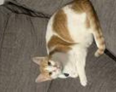 Adopt Scooter & Dasher a Domestic Shorthair / Mixed (short coat) cat in Phoenix