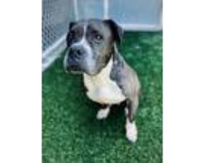 Adopt Dancing Queen a Mixed Breed (Large) / Pit Bull Terrier / Mixed dog in