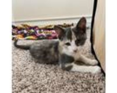 Adopt Daisy a Calico or Dilute Calico Domestic Shorthair / Mixed cat in Culver