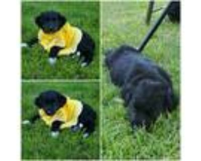 Adopt Twilight a Black - with White Border Collie / Mixed dog in Idaho Falls