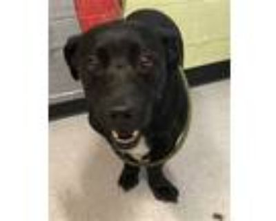 Adopt SNOOKIE a Black - with White Labrador Retriever / Basset Hound / Mixed dog