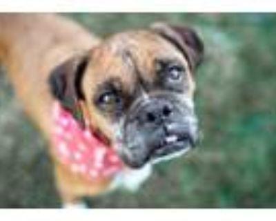 Adopt Peridot a Tan/Yellow/Fawn Boxer / Mixed dog in Oceanside, CA (30733004)