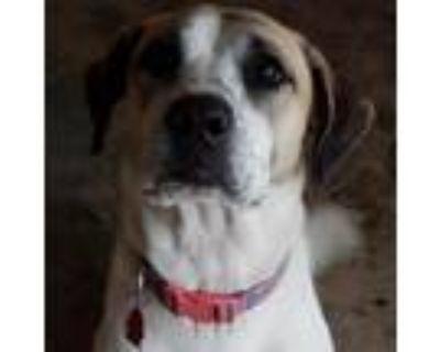 Adopt Luna a Brown/Chocolate Retriever (Unknown Type) dog in San Antonio