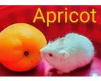 Adopt APRICOT a Hamster