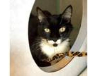 Adopt Tuxi a All Black Domestic Shorthair / Domestic Shorthair / Mixed cat in