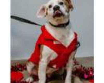 Adopt Zoey a Beagle, Pit Bull Terrier