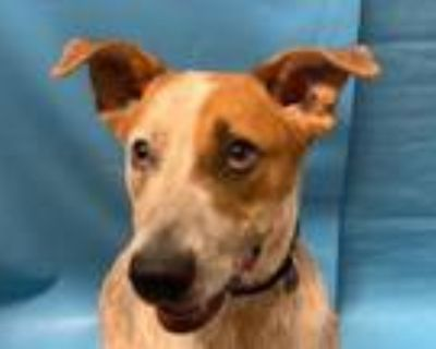 Adopt Gus a Cattle Dog, Mixed Breed
