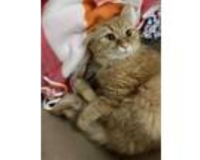 Adopt CECE a Orange or Red (Mostly) Domestic Longhair / Mixed (long coat) cat in