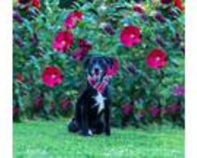 Adopt Scout a Border Collie
