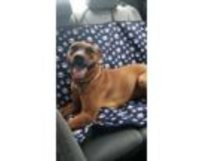 Adopt Clifford a Red/Golden/Orange/Chestnut American Pit Bull Terrier / Mixed