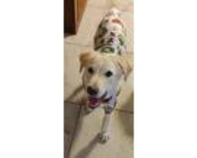 Adopt Gomer a Tan/Yellow/Fawn Labrador Retriever / Golden Retriever / Mixed dog