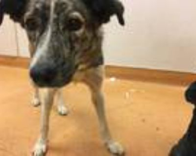 Adopt a Brindle - with White Border Collie / Mixed dog in Martinez